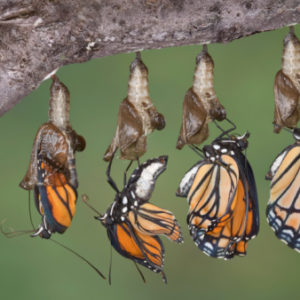 A viceroy butterfly is shown emerging from it's chrysalis in five shots merged together.