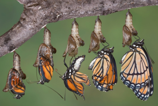 Viceroy butterfly emerging